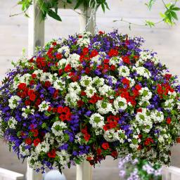 Mini-Jungpflanzen Hanging Basket Sortiment Pride of Britain
