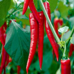 Mini-Jungpflanze Paprika Medina F1 , veredelt