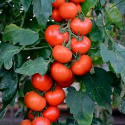 Mini-Jungpflanze Tomate Crimson Crush F1, veredelt