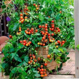 Mini-Jungpflanze Tomate Lizzano F1, veredelt