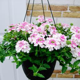 Mini-Jungpflanze Hänge-Verbene Rose White
