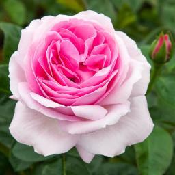 Edelrose Pink Eureka®