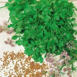 BIO Kräuterpflanze Blatt-Koriander