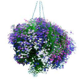 Mini-Jungpflanzen Männertreu Fountain-Mischung