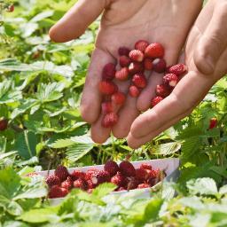 Erdbeerpflanze Monatserdbeere