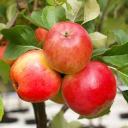 Apfel Ecolette(S), zweijährig