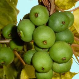 Runde Apfel-Kiwi