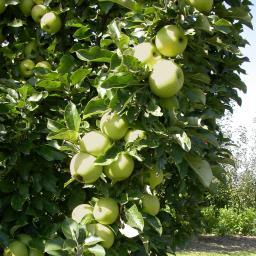 Säulen-Apfel Cactus