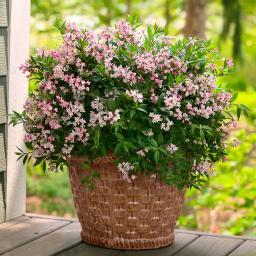 Sternchenstrauch Yuki Cherry Blossom®, im ca. 19 cm-Topf