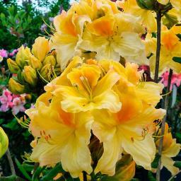 rhododendron azaleen online kaufen bei g rtner p tschke. Black Bedroom Furniture Sets. Home Design Ideas