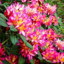 Rhododendron Pivoine