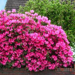 Rhododendron Gartendirektor Glocker