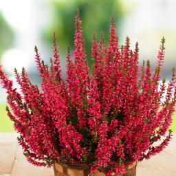 Knospenheide Gardengirls® , rot, im ca. 13 cm-Topf