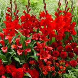 Blumenzwiebel-Sortiment Roter Sommer