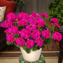 Calliope® Geranie Deep Rose, im ca. 12 cm-Topf