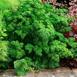 Petersilie Frise vert fonce, Robust