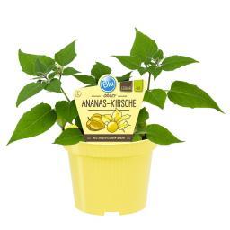 Blu Bio-Gemüsepflanze Ananas-Kirsche