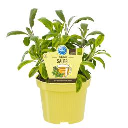 Blu Bio-Kräuterpflanze Salbei
