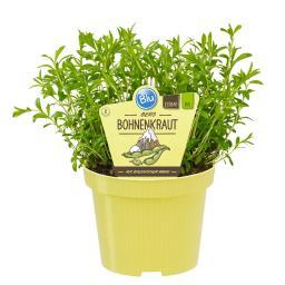 Blu Bio-Kräuterpflanze Berg-Bohnenkraut