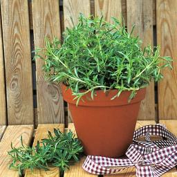 Kräuterpflanze Stauden-Bohnenkraut Bolero, im ca. 12 cm-Topf