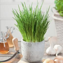 Bio-Kräuterpflanze Schnittlauch