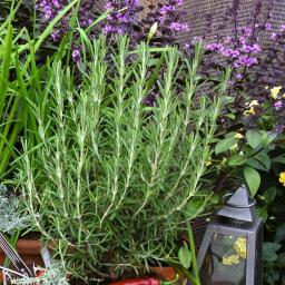 Gourmet-Rosmarinpflanze Abraxas, im ca. 12 cm-Topf