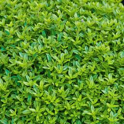 Kräuterpflanze Sonnen-Thymian Goldy, im ca. 12 cm-Topf