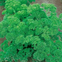 Petersiliensamen Mooskrause 2 Smaragd