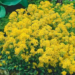 Silberrand-Chrysantheme, im ca. 12 cm-Topf