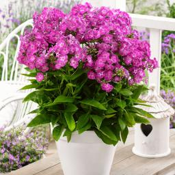 Phlox Famous Purple XL