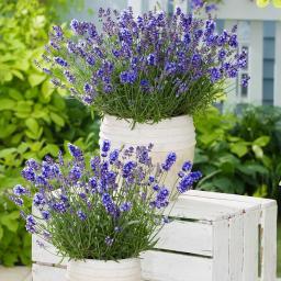 Lavendel Essence Purple, im ca. 19 cm-Topf