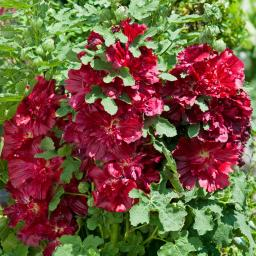 Stockrose Spring Celebrities Crimson, im ca. 19 cm-Topf