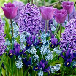 Blumenzwiebel-Mischung Blauer Frühling