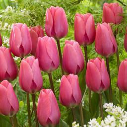 Tulpe Big Love