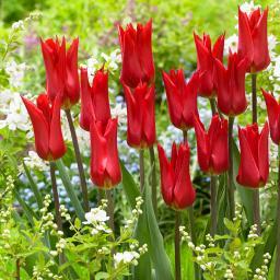 Tulpe Istanbul
