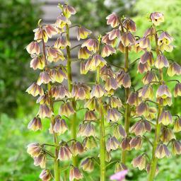 Persische Glockenlilie Green Dreams