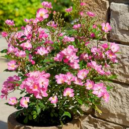 Phlox-Rose Rosy Boom®, pink, im ca. 25 cm-Topf