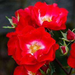 Phlox-Rose Rosy Boom®, rot, im ca. 24 cm-Topf