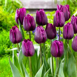 Tulpe Deep Purple Rock