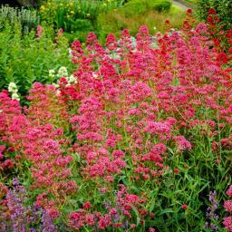 Rote Spornblume, im ca. 9 cm-Topf