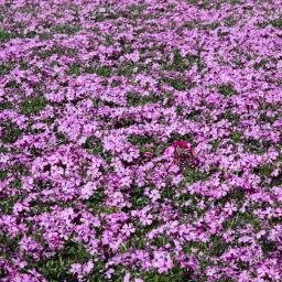 Polsterphlox Purple Beauty, im ca. 9 cm-Topf