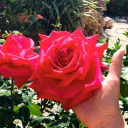 Edelrose Marylou®, im ca. 23 cm-Topf