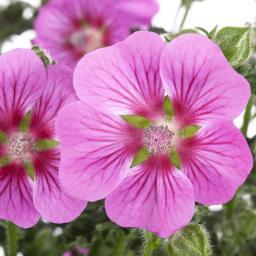Kapmalven-Stämmchen, rosa, XL-Qualität