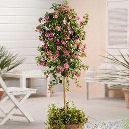 Kapmalven-Stamm, rosa, im ca. 19 cm-Topf