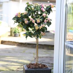 Wandelröschen-Stamm, rosa, ca. 19cm-Topf