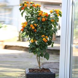 Wandelröschen-Stämmchen, orange