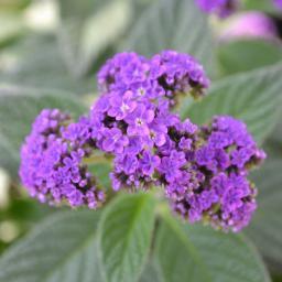 Vanille-Blume-Stämmchen, lila, XL-Qualität