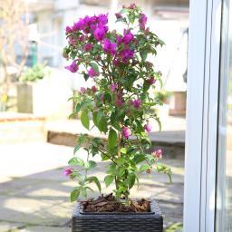 Wunderblumen-Stämmchen