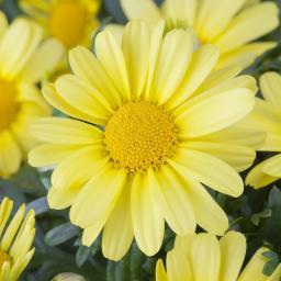 Gelbe Margerite