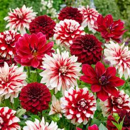 Dahlien-Mischung Rot-Weiß